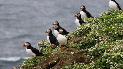 Puffins in Grimsey Iceland, Lonely Planet Spring Destination